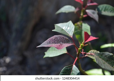 Christmas star tree or poinesettia, its red and green foliage widely used in Christmas floral displays, grown in a green lawn covered with Manila grass, frost and dew dropping on leaves in the morning