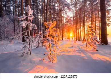 Christmas sunlight in forest. Fir trees covered with frost with evening sunshine in forest. Winter landscape. Winter nature with white snow and bright sun. Christmas or New Year natural background.