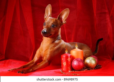 Christmas theme. Miniature Pinscher on a red background. The Miniature Pinscher (Zwergpinscher, Min Pin) is a small breed of dog of the Pinscher type, developed in Germany.