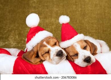 Christmas theme sleeping Beagle puppies wearing Santa caps hats