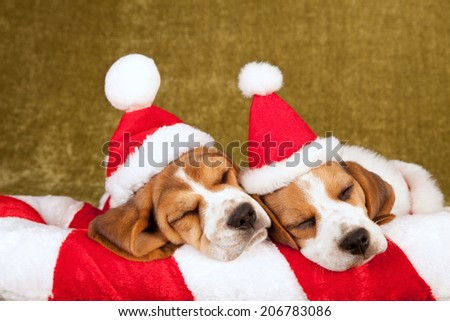 christmas theme sleeping beagle puppies wearing santa caps hats - Christmas Beagle