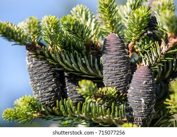 Christmas time,  and  pine cone decorated with drops of resin on a  blue sky background