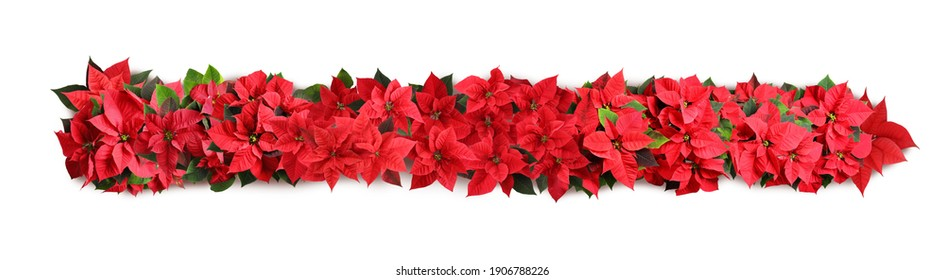 Christmas traditional Poinsettia flowers on white background, top view. Banner design