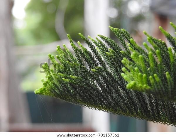 christmas tree beautiful stems, Cryptomeria japonica, Japanese sugi pine, Japanese red-cedar, evergreen tree, attractive needle shaped leaves, ornamental