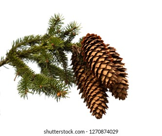 Christmas tree branch with cones on white