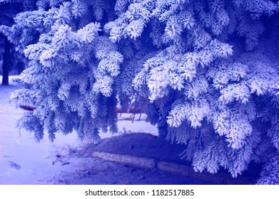 Christmas tree branches in frost and snow