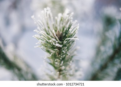 Christmas tree branches in the snow on a winter sunny day with a blurred background