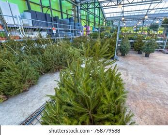 Christmas tree in a cart at a xmas market in a garden center