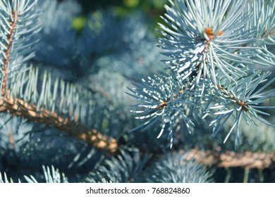 Christmas Tree Evergreen Branches, Close up Pine tree needless, pine tree