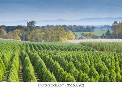 A Christmas tree farm in late autumn near Eugene, Oregon