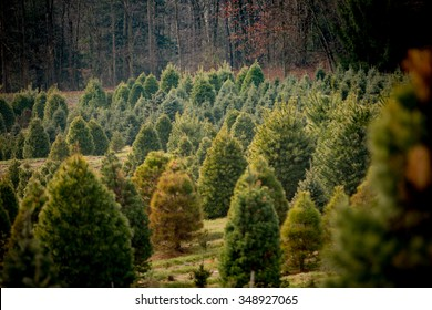 Christmas tree farm with many pine trees of different shapes, species, and sizes.