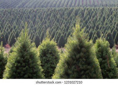 A Christmas tree farm in Oregon's Willamette Valley, ready to ship for the holidays.