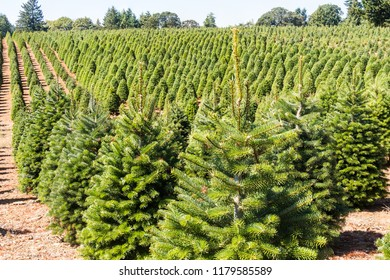 Christmas Tree Farm in the Pacific Northwest