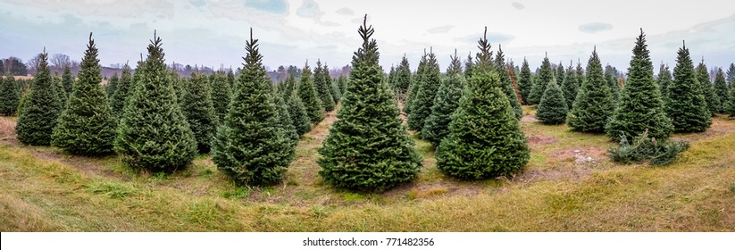 Christmas Tree Farm Panorama