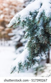 Christmas tree fir branch with snow close-up on a background of nature