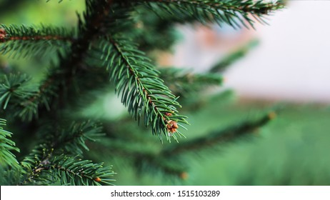 Christmas tree green coniferous all year round, small sharp thorns on spruce