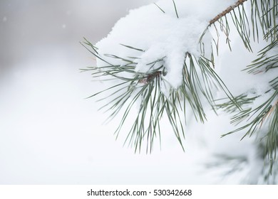 Christmas tree on white blurred background. Evergreen spruce tree with fresh snow