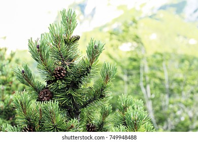 Christmas Tree. Pine tree or Fir Tree with Cones Closeup