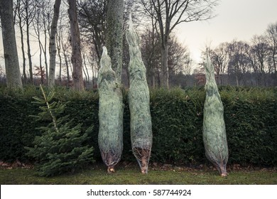 Christmas tree sale at a countryside market in the winter with trees packed in a net