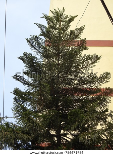 Japanese Christmas Tree.Christmas Tree Sunlight Cryptomeria Japonica Japanese Stock