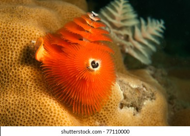 Christmas tree tube worm coral on reef