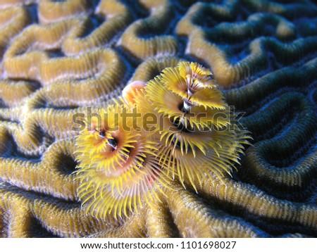 Christmas Tree Worm Brain Coral Stock Photo Edit Now 1101698027