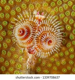 Christmas Tree Worm (Spirobranchus giganteus) on a coral head - Bonaire