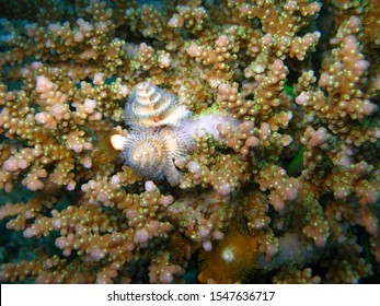 A Christmas tree worm with a white body and blue tips feeds by filtering plankton from the water on a reef in the Red Sea