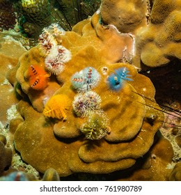 Christmas tree worms on a reef near Kot Tao island