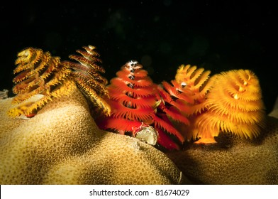 Christmas tree worms on reef