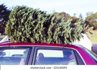 Christmas tree,fir. Fresh cut natural fir for Christmas festival holiday decoration,symbolic of family event,love,give,gift as Jesus of Christian on the top of car in the old school way to bring home