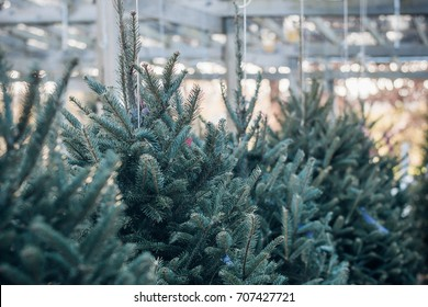 Christmas Trees in a Garden Center Nursery for Sale the Day after Thanksgiving
