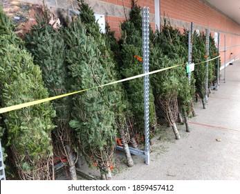 Christmas trees ready for the holiday season