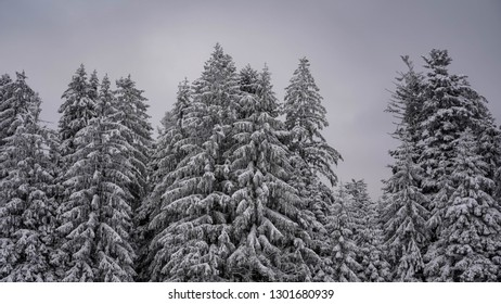 Christmas trees in a row, conifer covered in snow