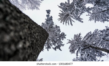 Christmas trees seen from below, conifer covered with snow