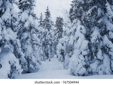 Christmas winter landscape in the wilds of spruce trees in snow.