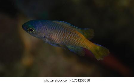 Chromis punctipinnis,  juvenile Blacksmith fish