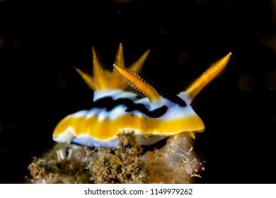 Chromodoris cf. strigata nudibranch