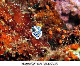 A Chromodoris Lochi nudibranch crawling on soft corals Boracay Island Philippines