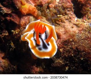 A Chromodoris Magnifica nudibranch Boracay Island Philippines