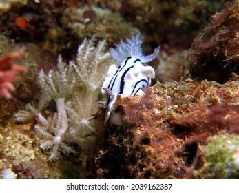 A Chromodoris Willani nudibranch on corals Boracay Island Philippines