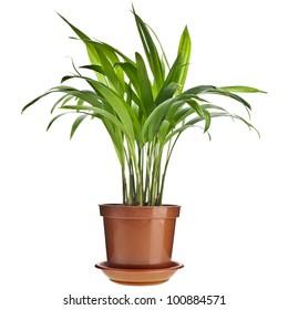 Chrysalidocarpus lutescens palm tree  in flowerpot  isolated on white