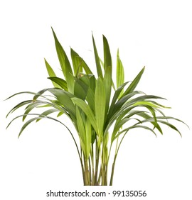 Chrysalidocarpus lutescens palm tree isolated on white