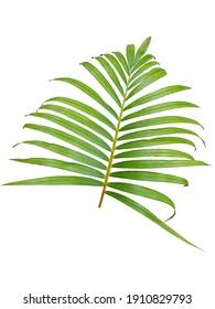 Chrysalidocarpus lutescens (Yellow Palm) leaf. Yellowish green palm leaf isolated on white background.