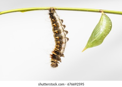 Chrysalis and black caterpillar of common duffer butterfly ( Discophota sondaica Boisduval ) hanging on twig with white background