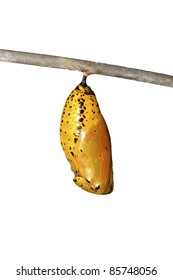 chrysalis of butterfly  hanging on branch in summer isolated on white background