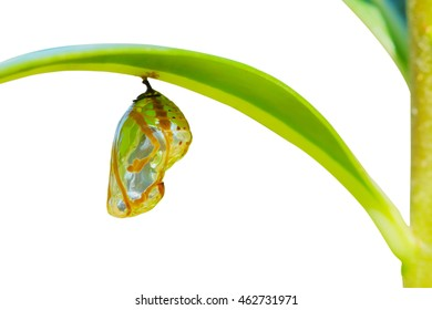 Chrysalis Butterfly hanging on a leaf . isolated.