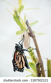 Chrysalis to butterly