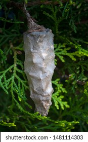 Chrysalis in tropical garden, butterfly in outdoor metamorphosis, insect in pupa.