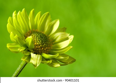 Chrysantemum flower over green backgrounds close-up shot with copy space